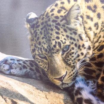 леопард .jpg